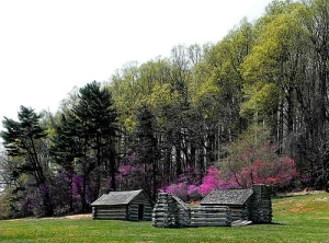 Redbuds in bloom, Valley Forge